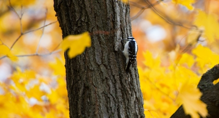 Black woodpecker photo