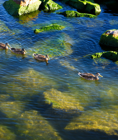color image mallard duck: Ducklings in the water