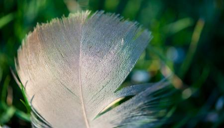 plume blanche: Plume blanche sur fond vert