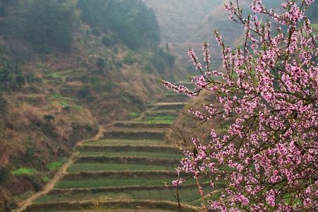 peach blossom  免版税图像