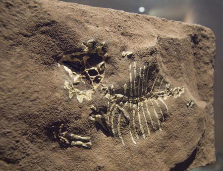 fossil record: Model Dinosaur fossil