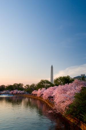 flor de cerezo: Monumento a Washington durante el Cherry Blossom Festival  Editorial