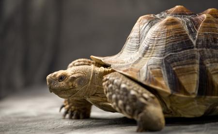 giant tortoise resting