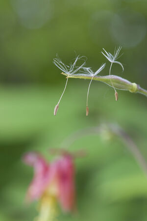 Dandelion seeds hanging on for dear life