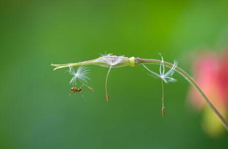 Dandelion seeds hanging on for dear life  版權商用圖片