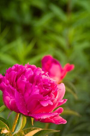 Pink peony blossom  Shallow depth of field Stock Photo