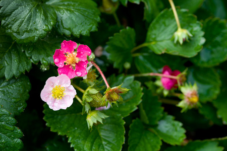 Bush of strawberries  Close-Up  strawberry flowers Stock Photo
