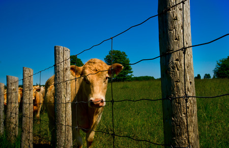 cattle wire:  cows line up along an old barb wire farm fence Stock Photo