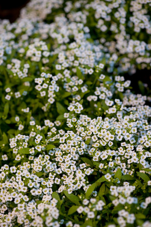 bird s eye: Bird s eye view of white flowering Sweet Alyssum  Stock Photo