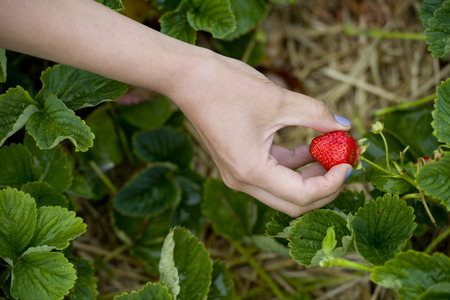 woman showing red strawberry on hand in farm  photo