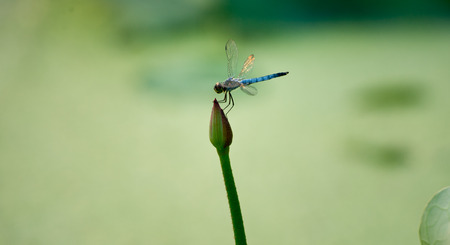 Dragonfly on the Lotus Flower photo