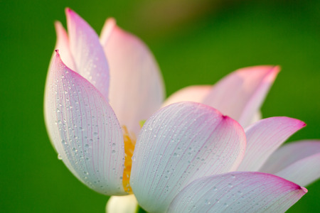Pink lotus and green leaf