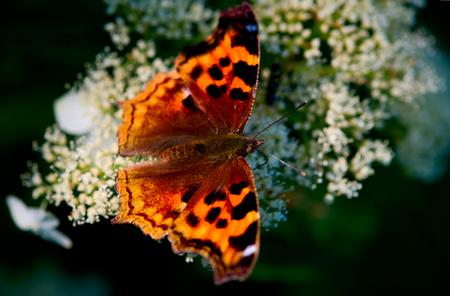 poised: brilliant orange butterfly poised on white flowers
