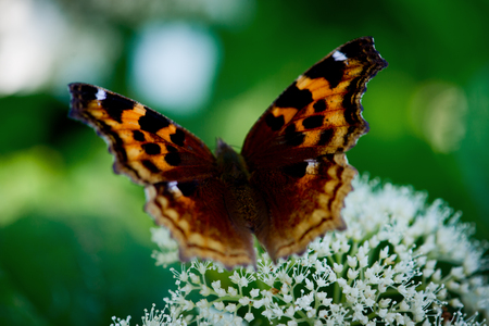 brilliant orange butterfly poised on white flowers