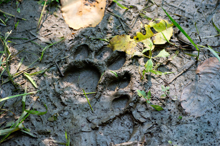 dint: A close up of the footprint of  tiger on ground. in Nepal