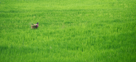 cropping: Nepalese woman in farmland