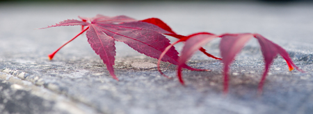 A close up of two Japanese maple leaves covered in frost. Shallow Depth of Field.