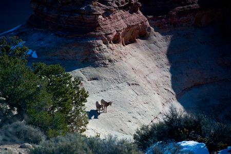 wild goat: cabra salvaje en la pared de un ca��n de roca roja