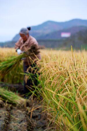 45 50 years: Rice Farmer