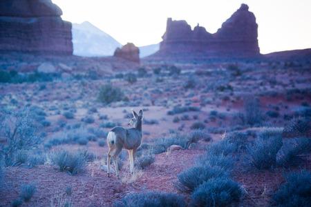 arid climate: Deer at Utah