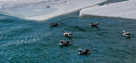 black feathered: Long-tailed Duck