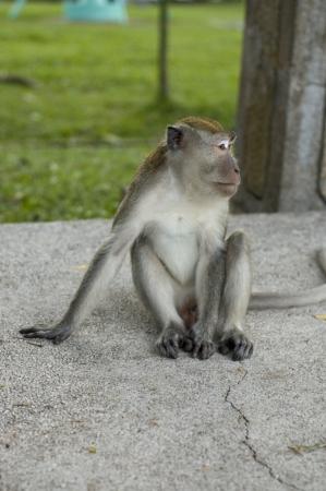 urban wildlife: One Wildlife Urban Monkey Sitting on a Park