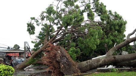 Muar, Johor, Malaisie 6 Juin 2011: Un arbre �norme a �t� d�racin� apr�s une baisse lourde avec coin forte temp�te Muar ville �ditoriale