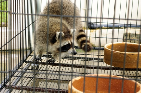 captive: Raccoon in the captive cage Stock Photo
