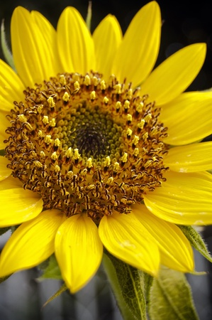 blossom sunflower