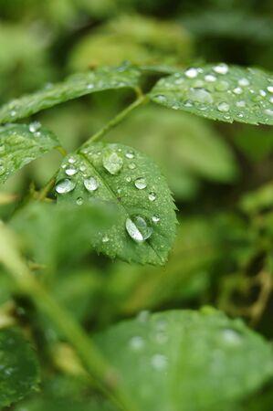 morning dews on the rose leaf