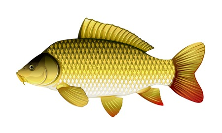Realistic common carp, eps10 illustration with transparent objects and mask opasity, isolated Illustration