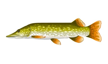 パイクの魚の白で隔離され、現実的なイラスト