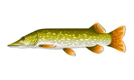 Pike fish realistic illustration, isolated on white Ilustração