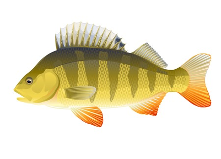 Big realistic european freshwater fish perch, isolated