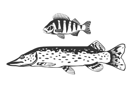 a freshwater fish: Set of freshwater fish predators perch and pike, black and white isolated