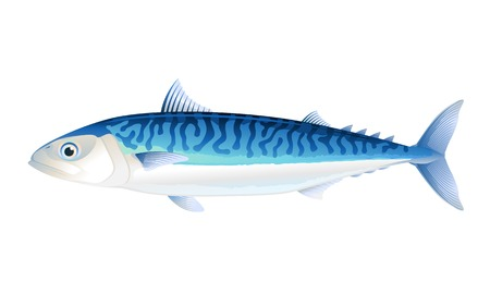 Atlantic mackerel fish scomber in profile, isolated Illustration