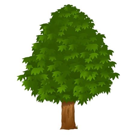 Castagno con foglie verdi, isolato su bianco