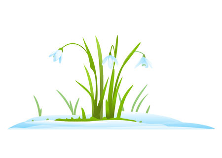stamen: Snowdrops in snow, first spring flowers, isolated