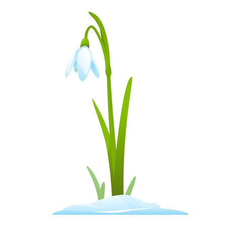 snowdrop: Single snowdrop in snow, first spring flowers, isolated Illustration