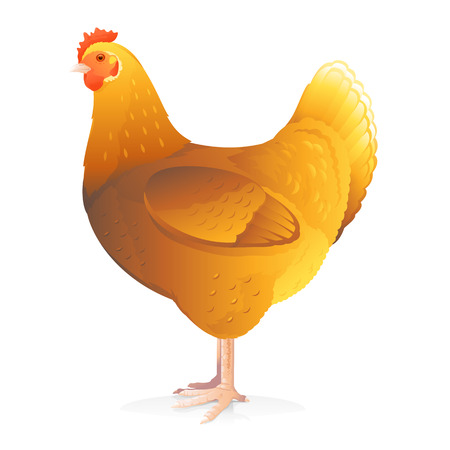 One brown hen standing in profile isolated on white quality illustration
