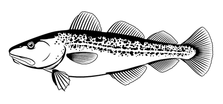 One Atlantic cod fish from one side in black and white color, isolated