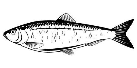 one atlantic herring fish from one side in black and white color royalty free cliparts vectors and stock illustration image 78796214