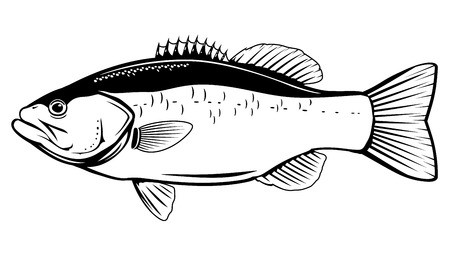 Largemouth bass fish in side view in black and white color, isolated Ilustração