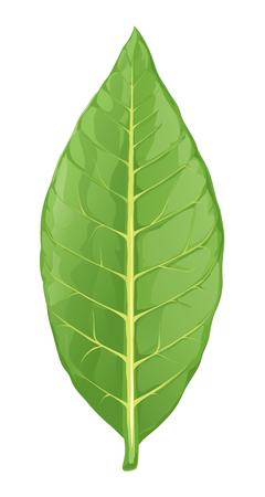One big fresh green tobacco leaf isolated on white