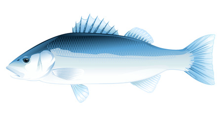 One Sea bass fish in side view, high quality illustration of sea fish, realistic sea fish illustration on white background