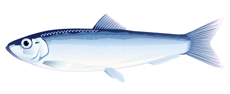 One European sprat fish from one side, high quality illustration of sea fish, realistic sea fish illustration on white background
