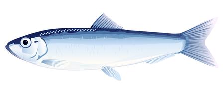 Un pesce spratto europeo da un lato, illustrazione di alta qualità di pesce di mare, illustrazione realistica di pesce di mare su sfondo bianco
