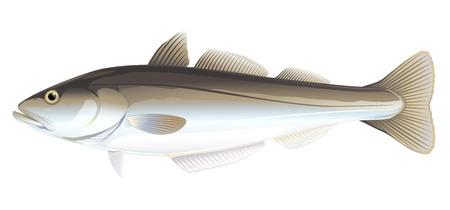 Un poisson de goberge d'un côté, illustration de haute qualité de poisson de mer, illustration réaliste de poisson de mer sur fond blanc Vecteurs