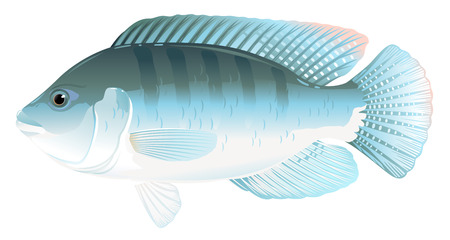 One tilapia fish in side view with big fins, high quality illustration of tropical fish, realistic freshwater fish illustration on white background