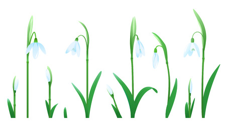 Set of snowdrop flowers of different sizes and stages of flowering for compositions isolated on white Illustration